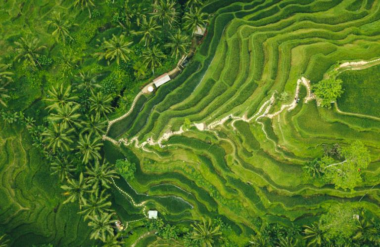 Rice Fields Palm Trees